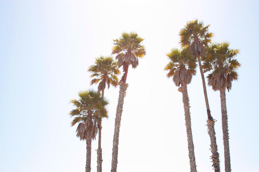 California Palm Trees Tumblr Wallpaper California palms by 1024x683