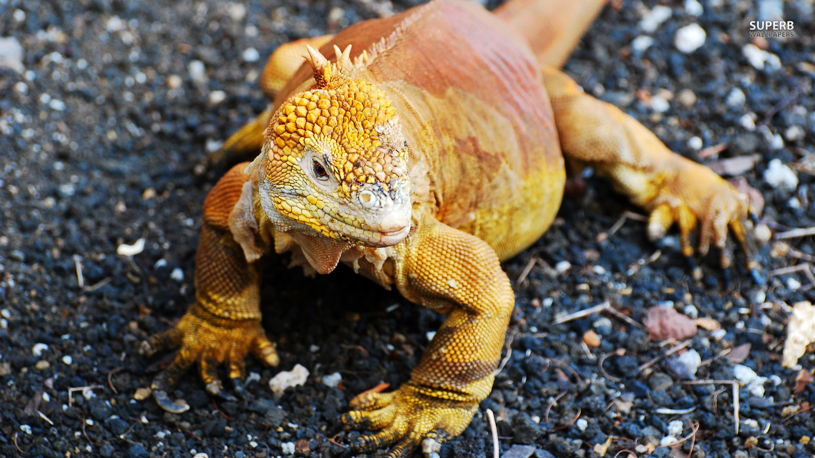 lizards images Iguana HD wallpaper and background photos 38700676 1600x900