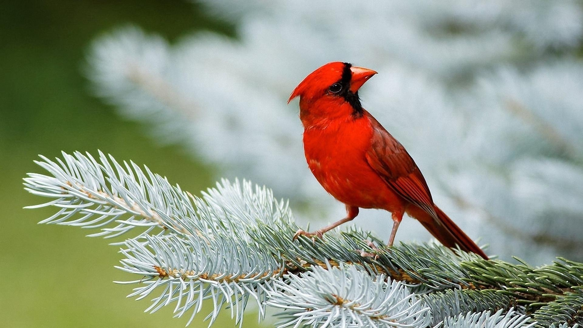 Red Bird Sparrow HD Wallpapers 1920x1080