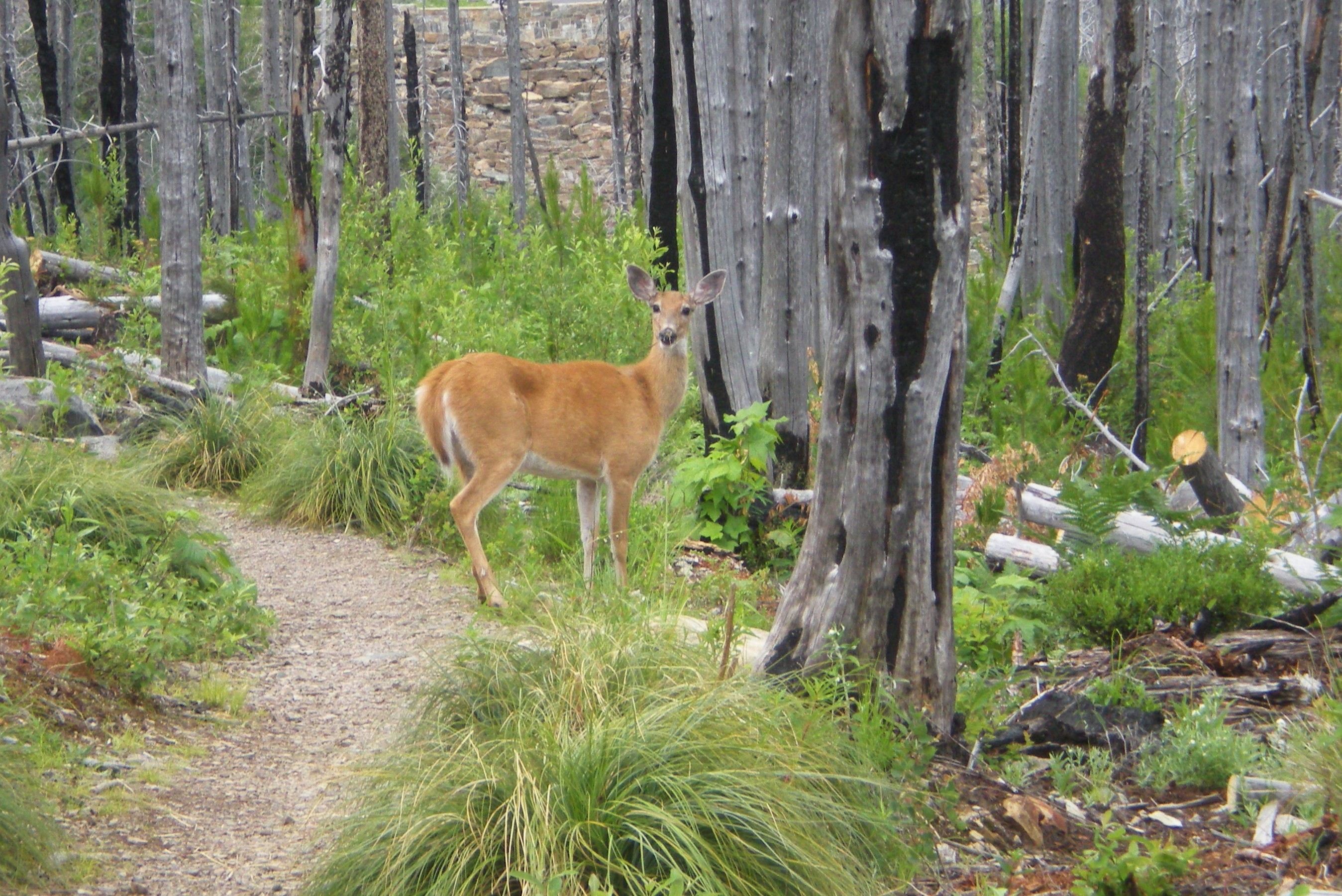 White Tailed Deer Wallpapers