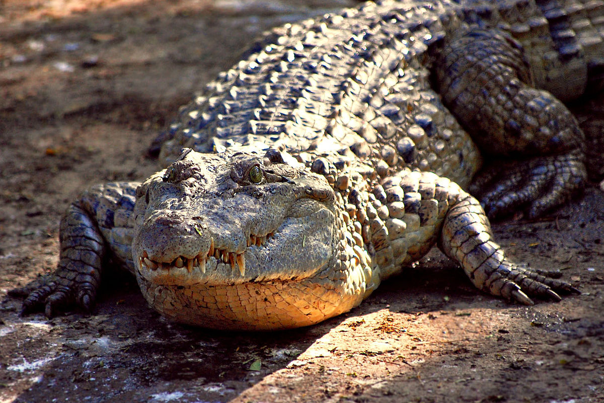 Alligator Reptile HD Photos Wallpapers Download 1200x800