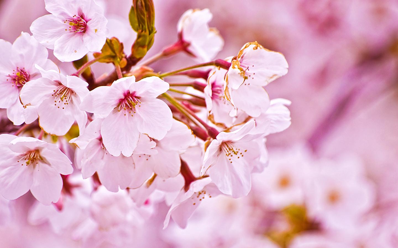 Cherry Blossom Wallpaper Desktop Cherry Cherries 1440x900