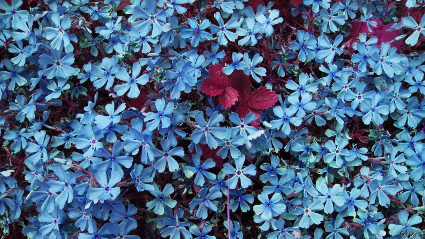 Blue flowers wallpaper Wallpaper Wide HD 1366x768