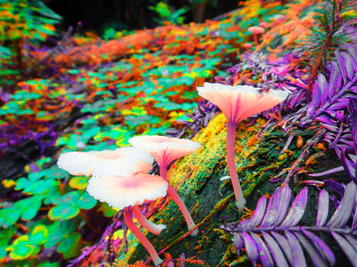 gt Nature gt Flowers amp Plants gt Trippy Desktop Backgrounds Shrooms 1500x1125