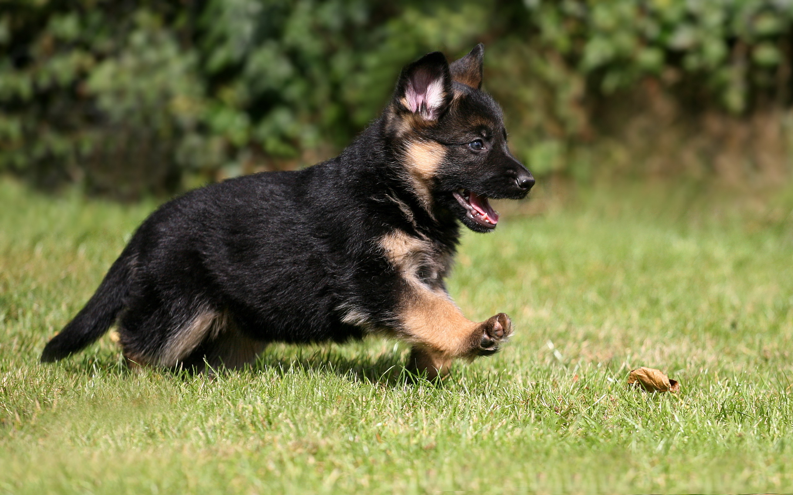 Wallpaper german shepherd puppy dog pet wallpapers dog   download 2560x1600