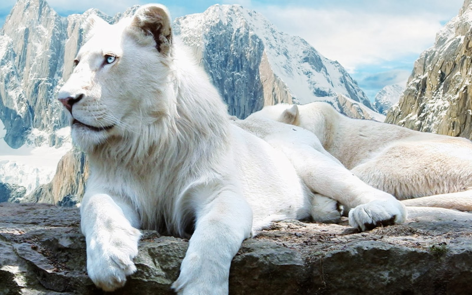 White Lions HD Funny Wallpapers Funny Wallpapers 1600x1000