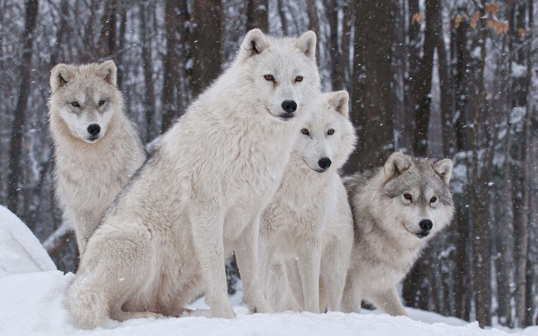 51 Wolf Pack Desktop Wallpaper On Wallpapersafari