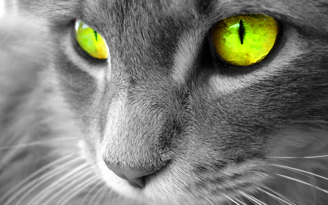 Beautiful Cat   Cats Wallpaper 16121794 1280x800