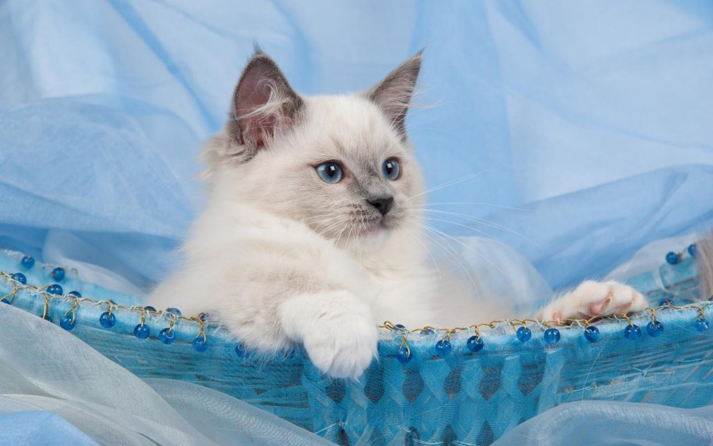 And Sister Cats Cat Ragdoll White Kitten Widescreen Wallpaper 1024x640