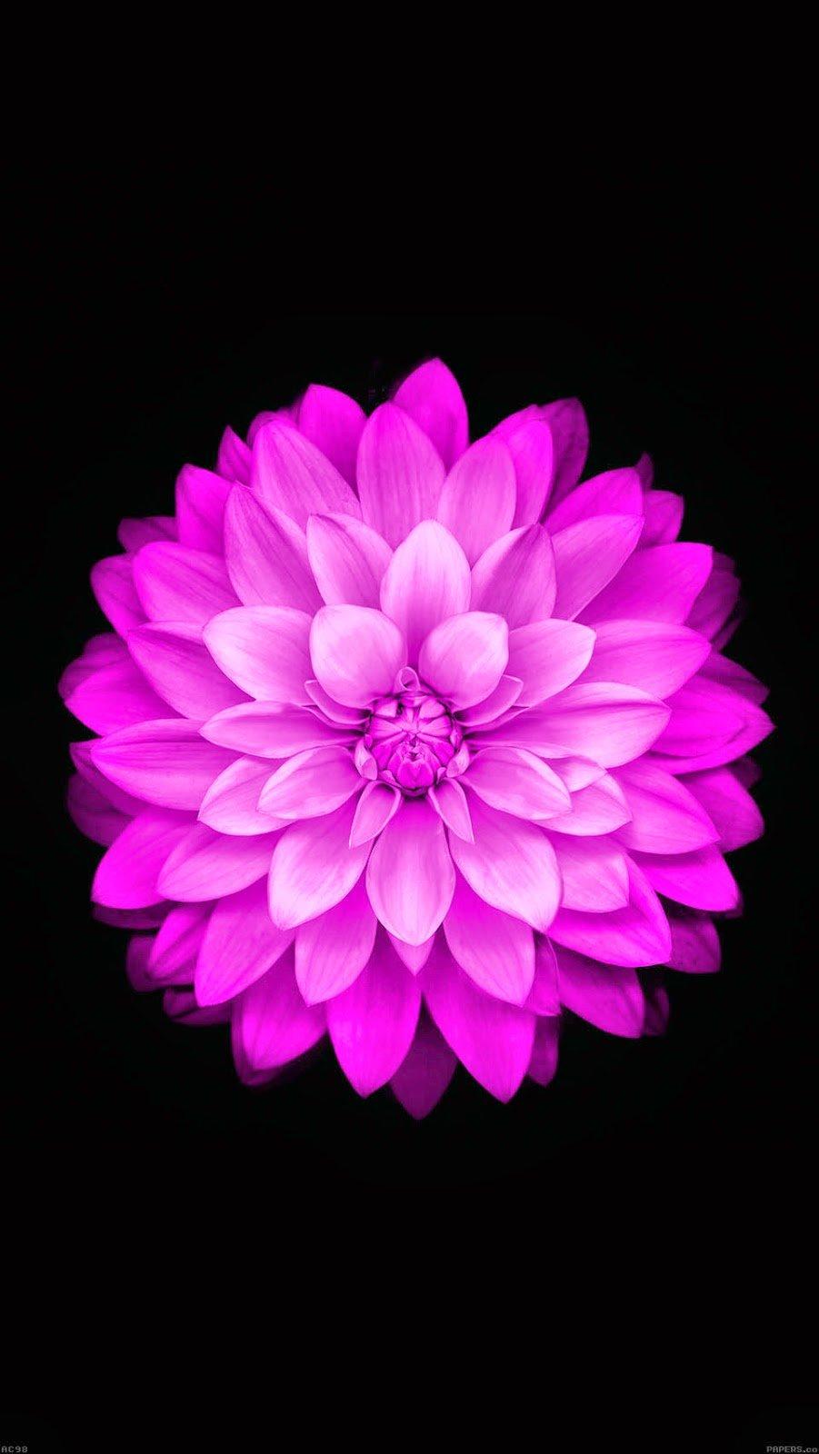 wallpaper apple red lotus iphone6 plus ios8 flower 18 wallpaperjpg 901x1600