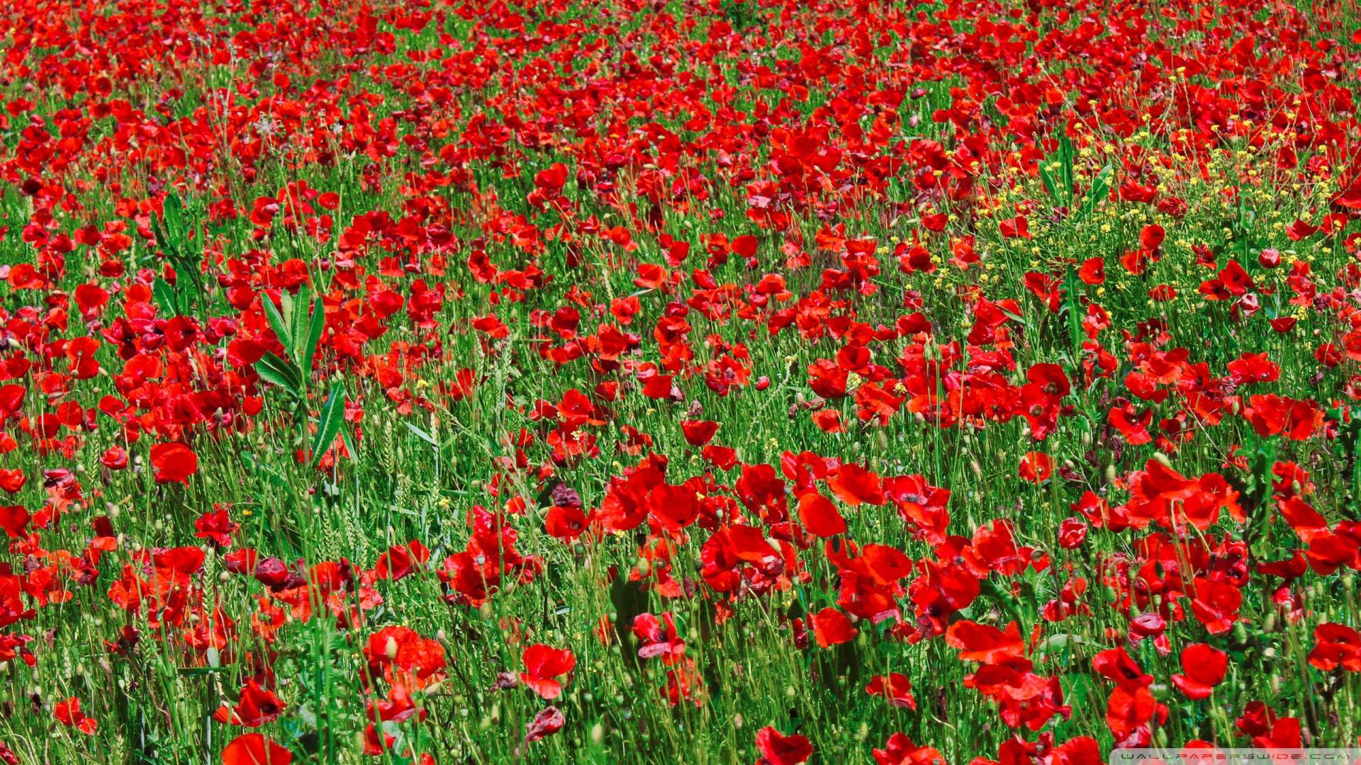 Red Poppy Field Wallpaper 1920x1080 Red Poppy Field 1920x1080