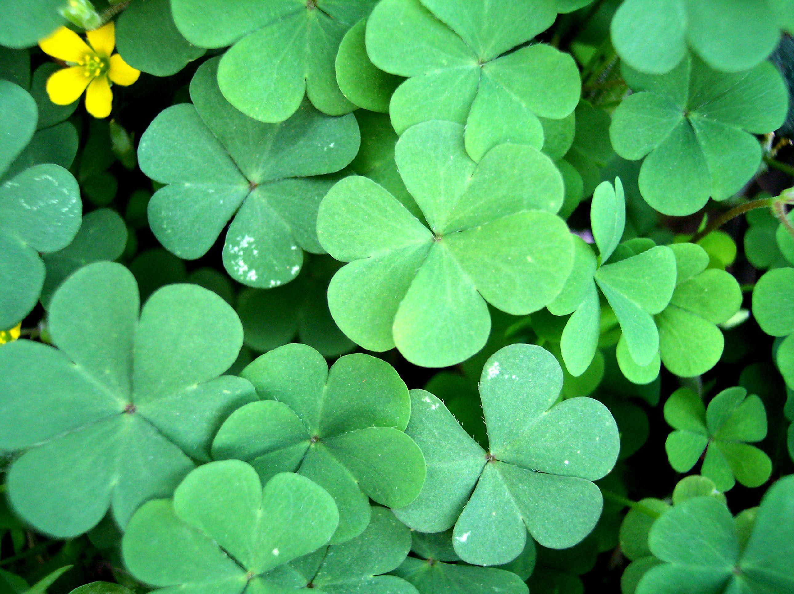Four Leaf Clover Wallpapers 2580x1932