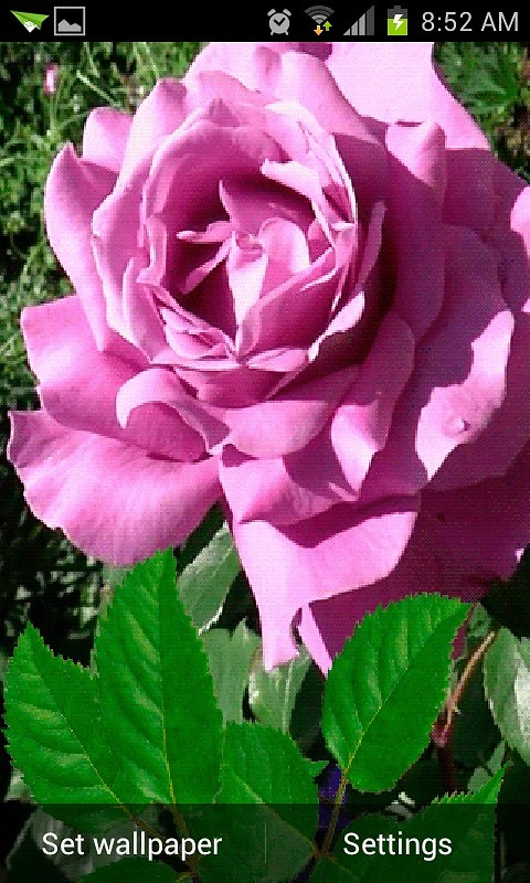 Rose Pink Live Wallpaper Android Live Wallpaper download 480x800