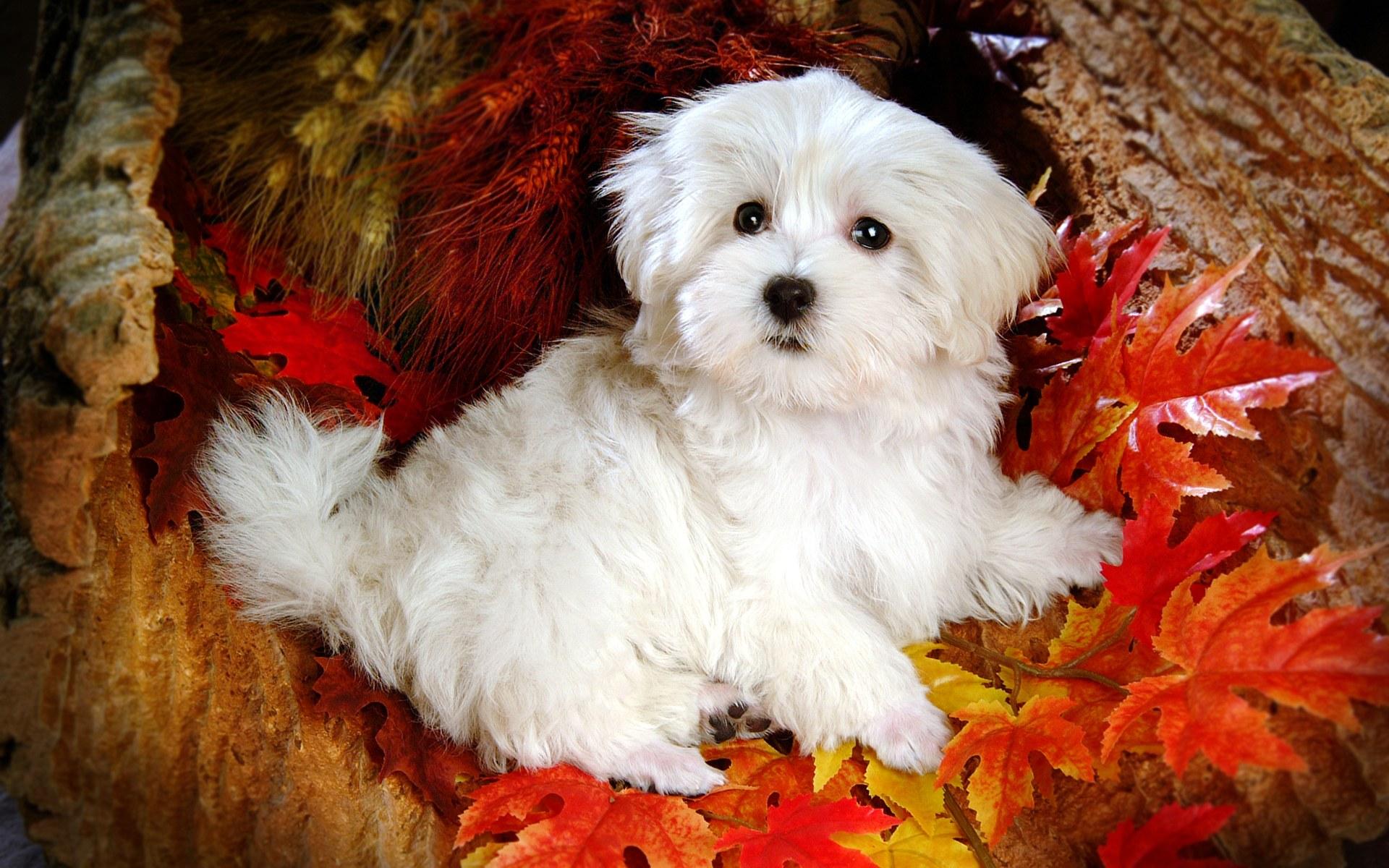 Pitbull Puppies Puppy Wallpaper Download 1920x1200