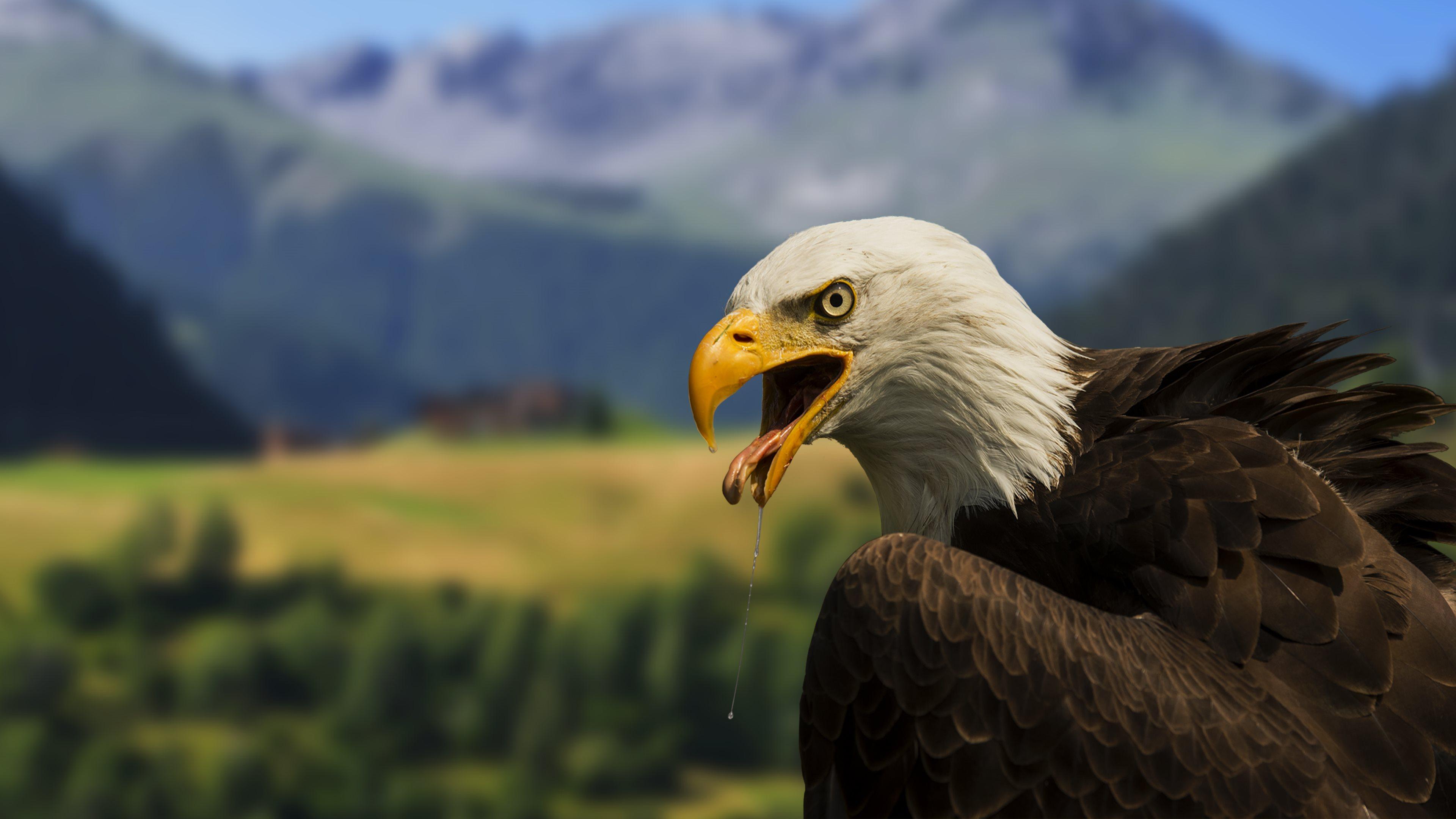 Beautiful Bald Eagle 4K Wallpaper Desktop Backgrounds 3840x2160