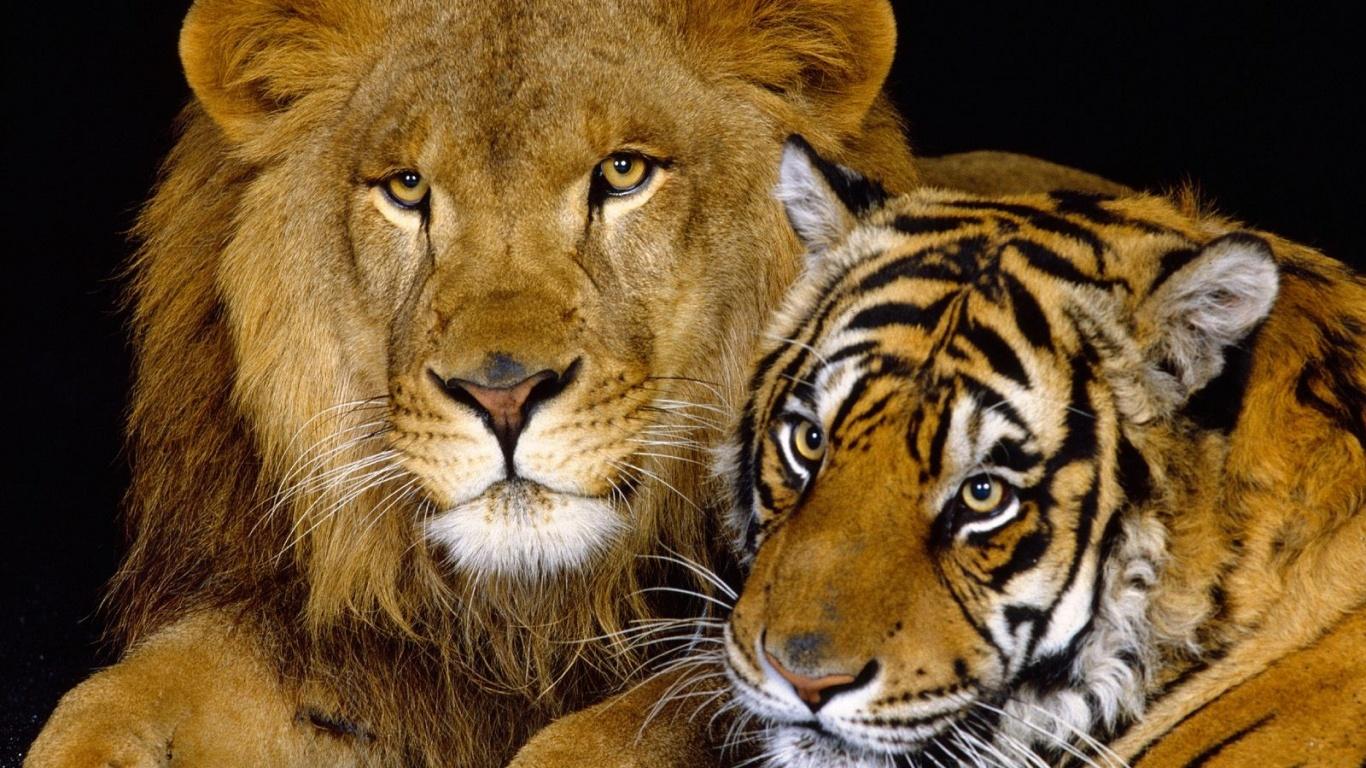 1366x768 Lion and tiger desktop PC and Mac wallpaper 1366x768