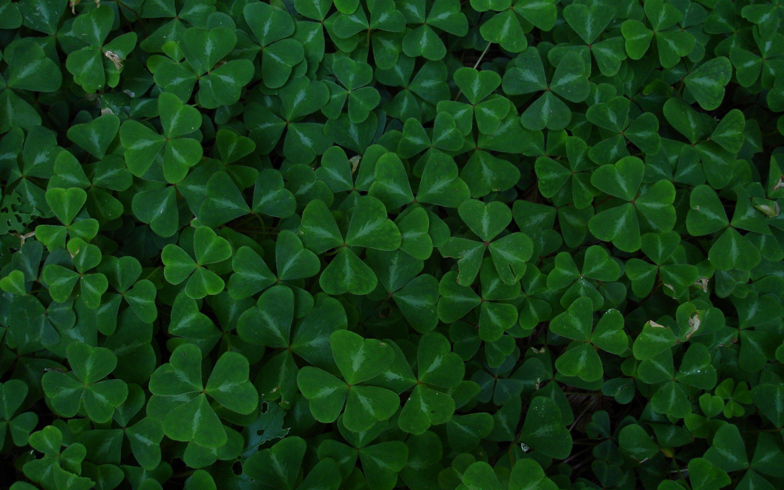 Green leaf clover wallpaper 2560x1600 10549 WallpaperUP 2560x1600