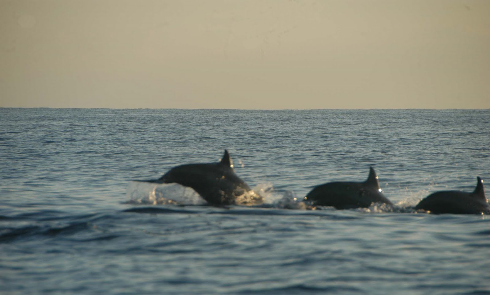 Dolphin In Lovina Beach Wallpaper 8655 Wallpaper ForWallpaperscom 1600x965