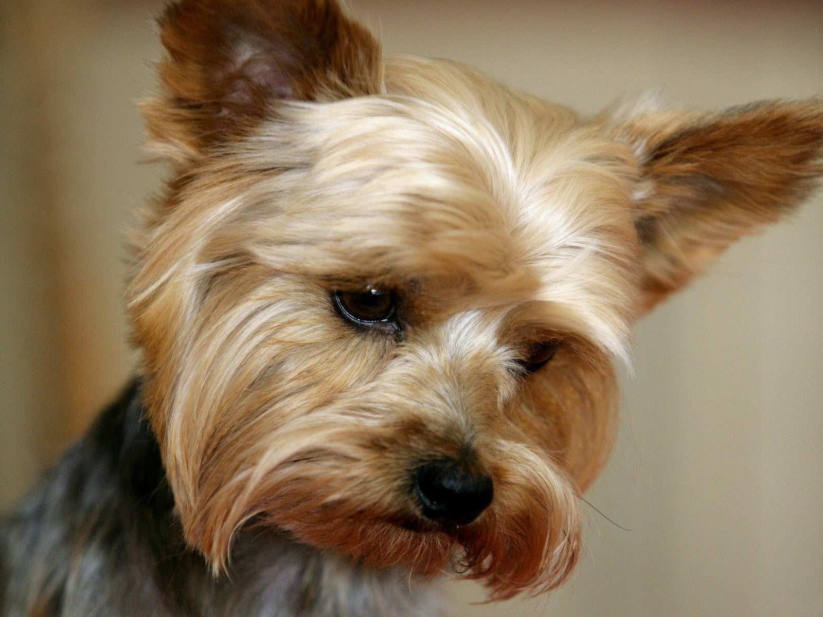 Yorkshire Terrier Dogs Wallpaper 13248745 1600x1200