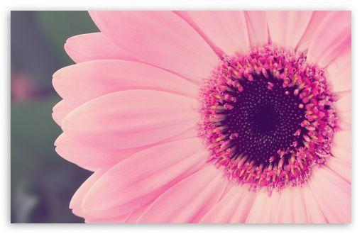 Pink Gerbera Daisy digital wallpapers black wallpapers wallpaper 510x330