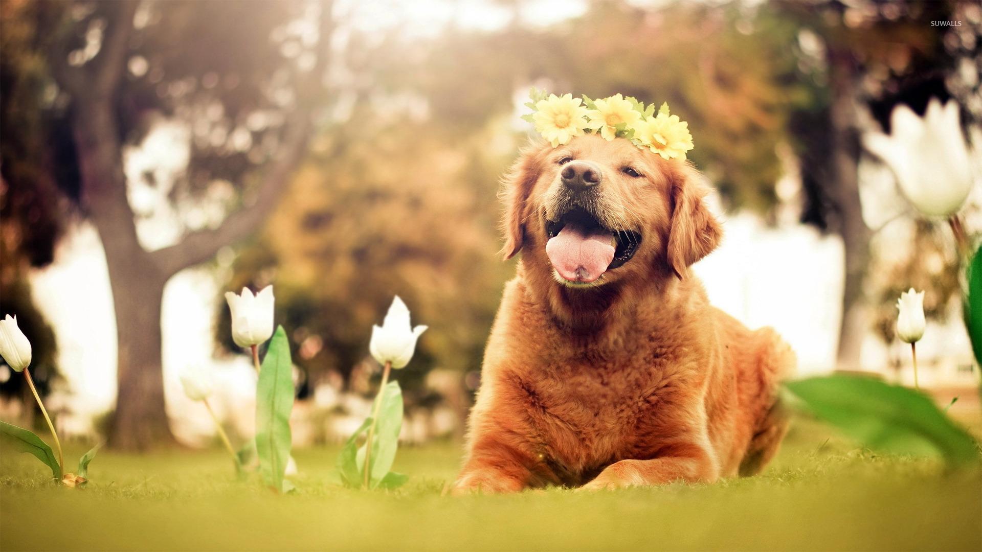 Free Download Golden Retriever Puppy Wallpaper Animal