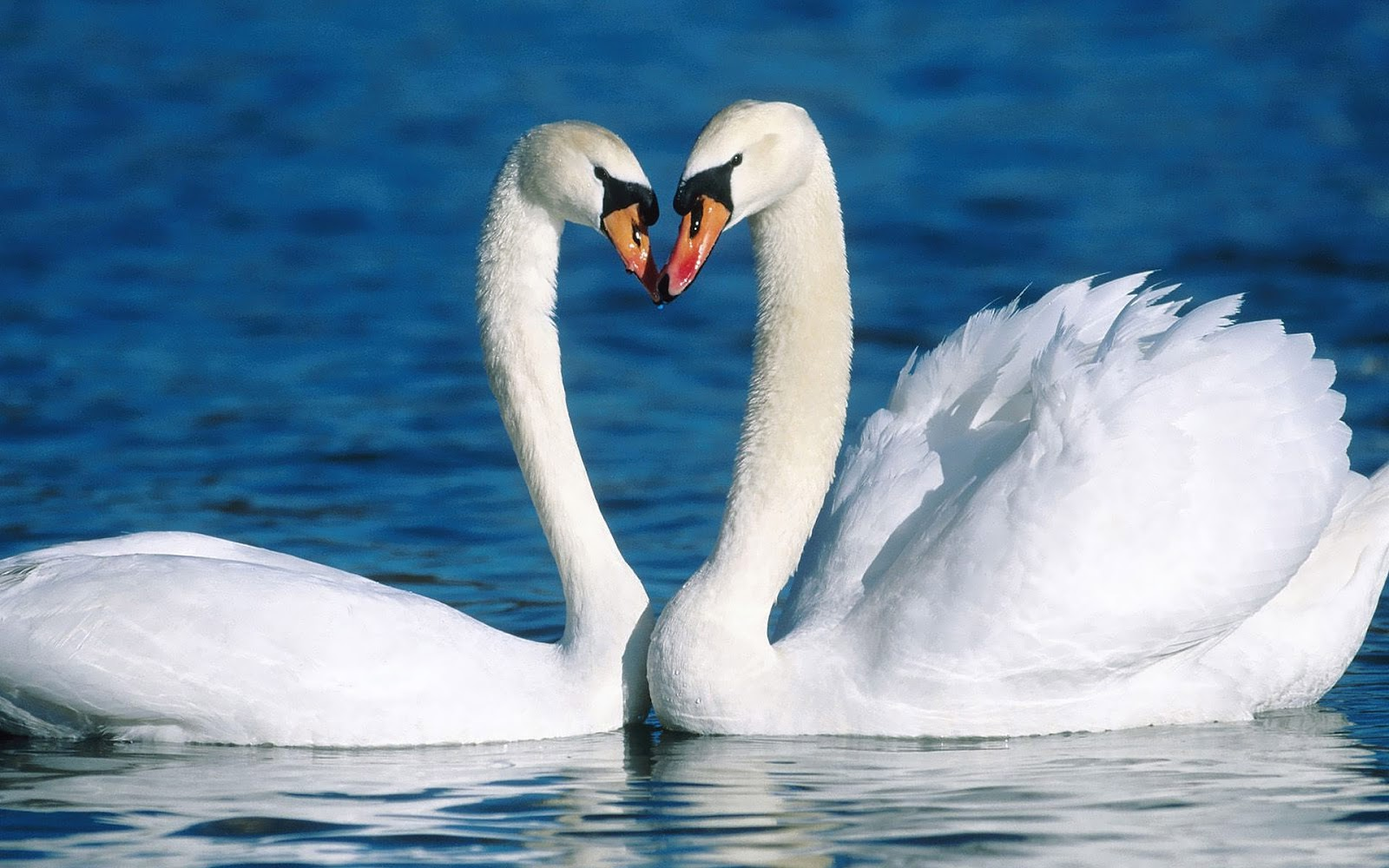 wallpaper of two cuddling white swans in the water hd swan wallpapers 1600x1000