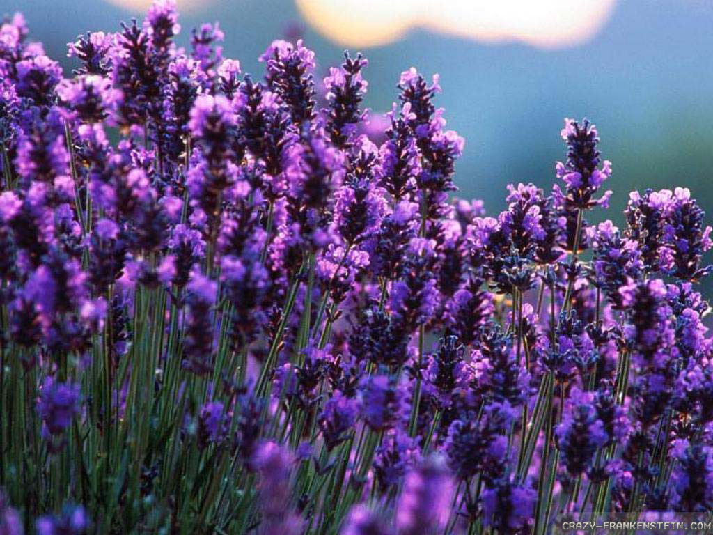 Gallery For gt Lavender Wallpaper Background 1024x768