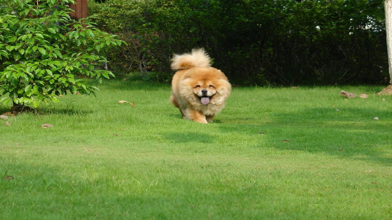 Free download Chow Chow Puppy HD Wallpapers [1366x768] for