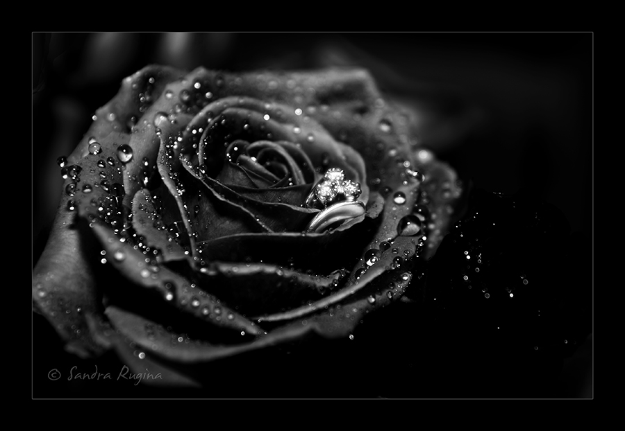 [78+] Black Rose Wallpapers On WallpaperSafari