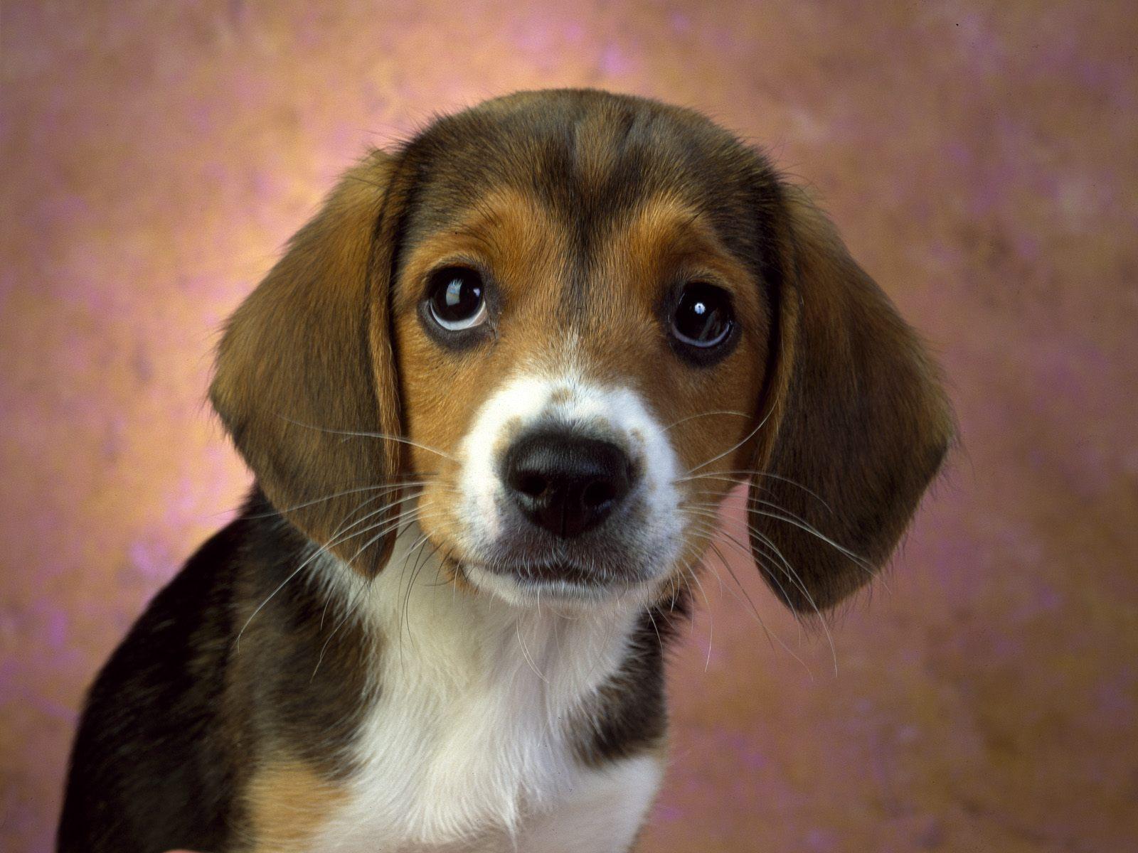 Beagle puppy dog   Hound Dogs Wallpaper 15363092 1600x1200