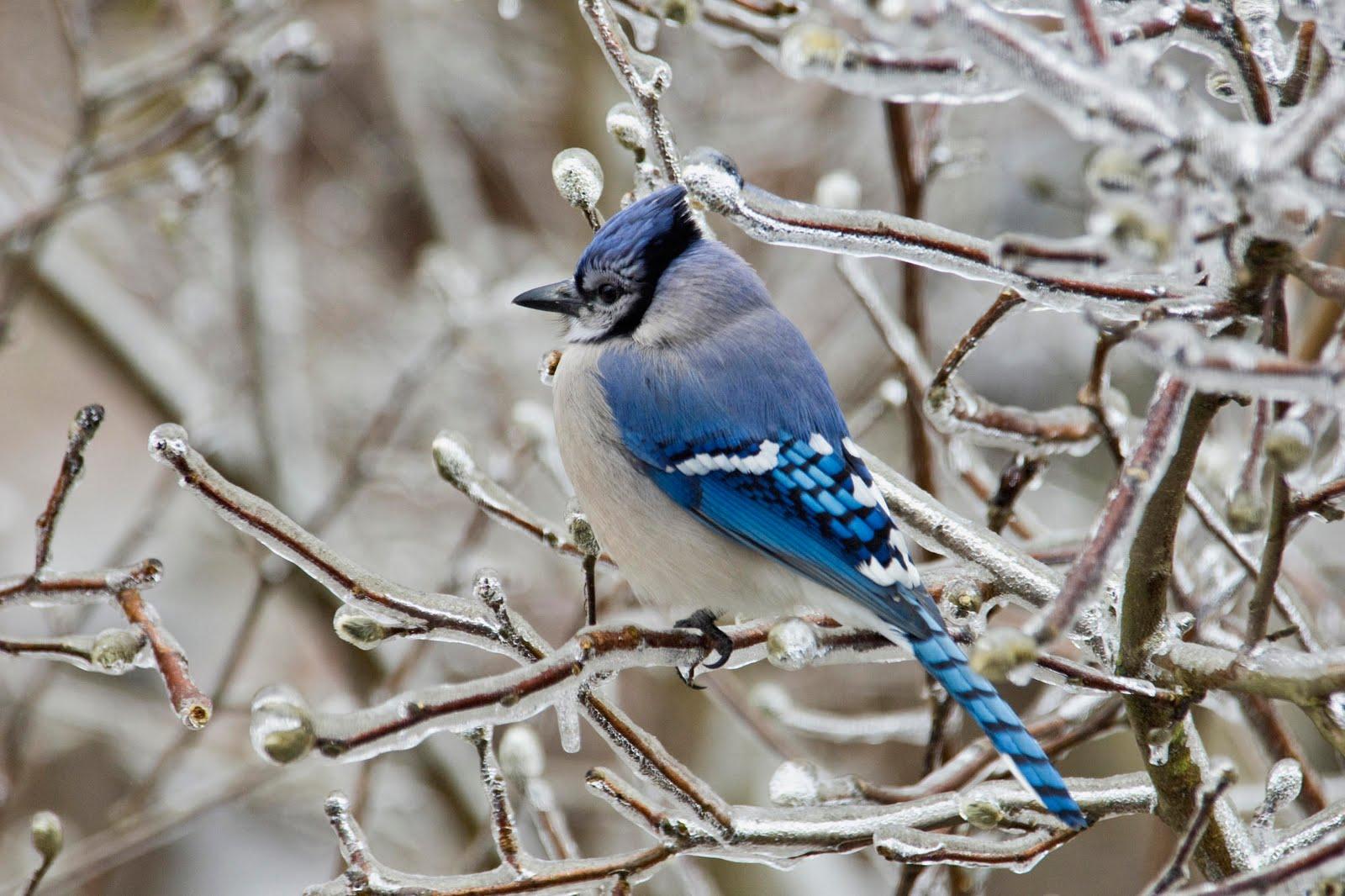 Blue Bird in Ice Nature Wallpaper   Nature Wallpaper 1600x1066