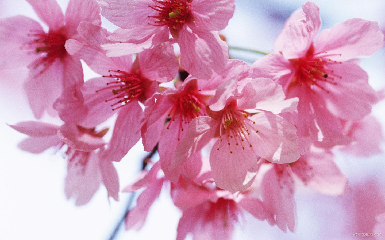 Spring Flowers Screensavers 1440x900