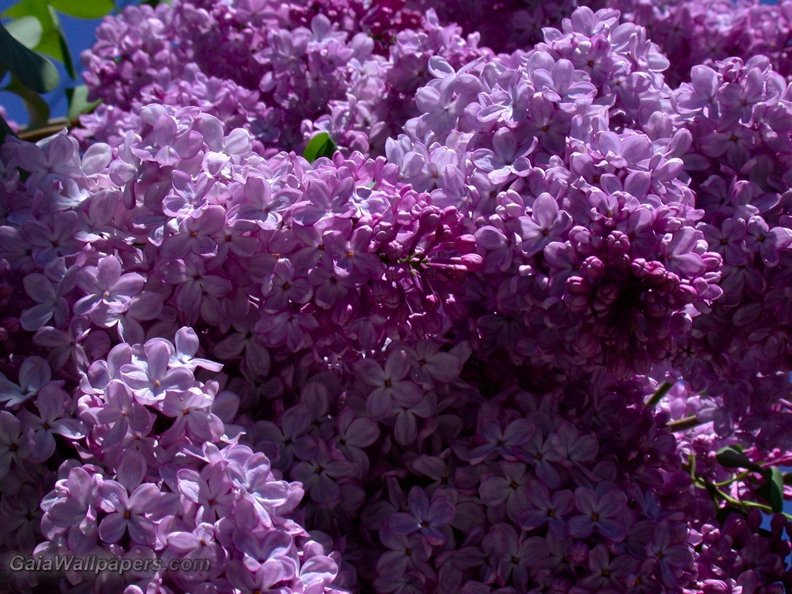 Free lilac wallpaper wallpapersafari for Lilac butterfly wallpaper