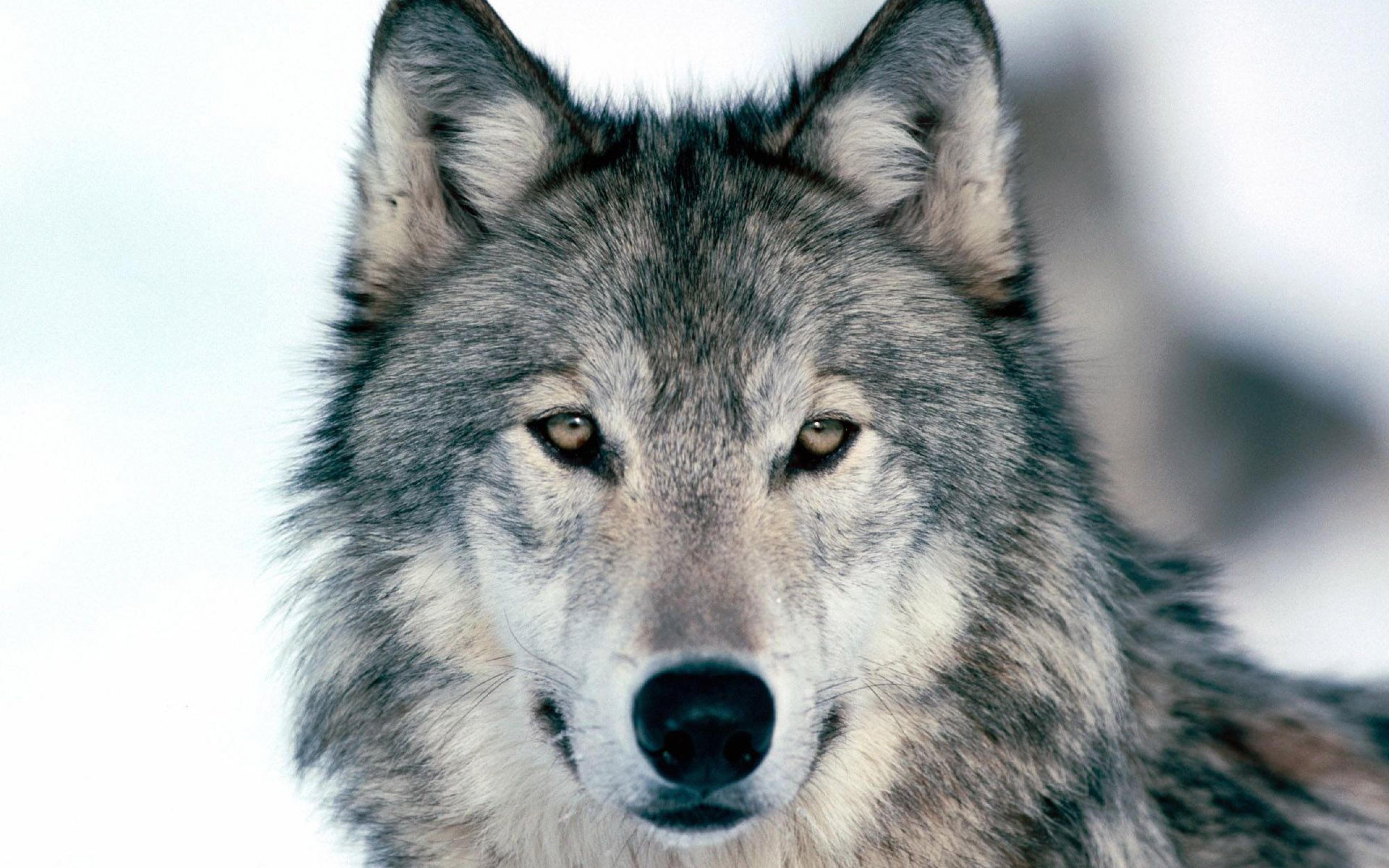 Download Wallpaper 3840x2400 wolf winter snow face eyes predator 3840x2400
