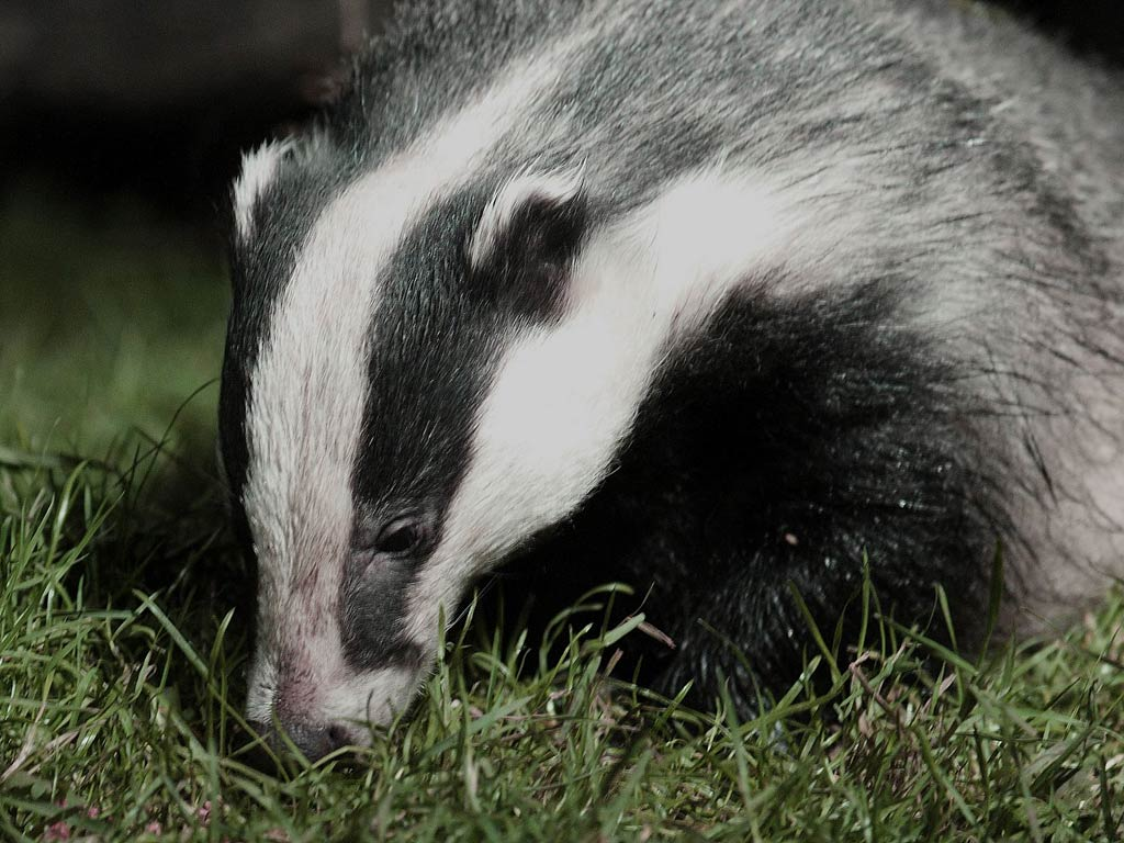 badger wallpaper 5jpg 1024x768