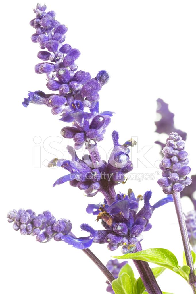 Purple Salvia Nemorosa Plant on White Background Stock Photos 682x1024