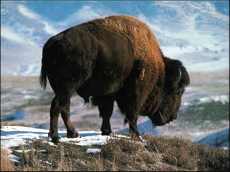 Bison Wallpaper Bison 800x600