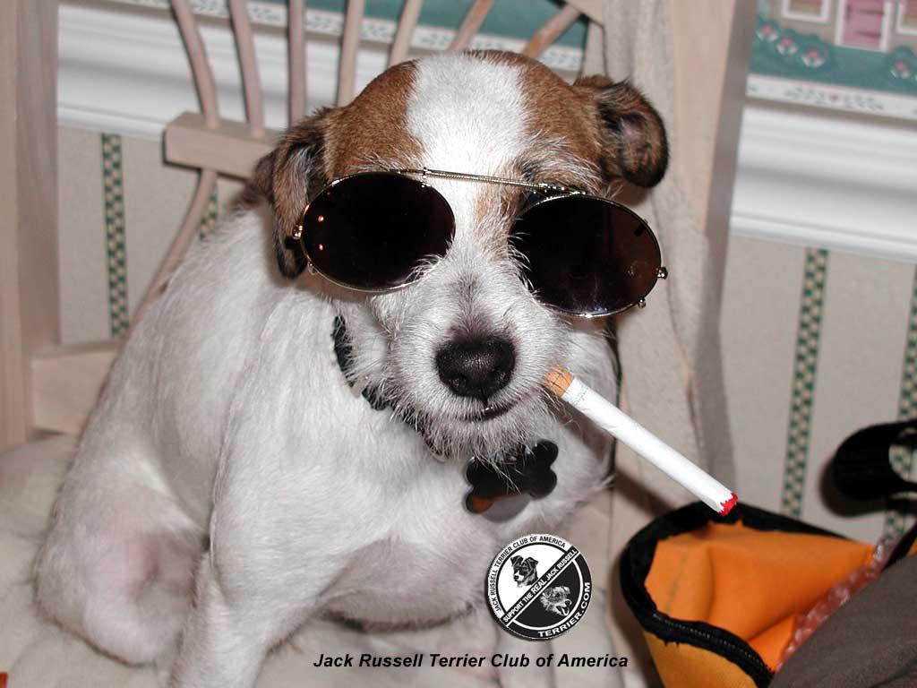 Funny Jack Russell Wallpaper - WallpaperSafari Jack Russell Terrier Wallpaper