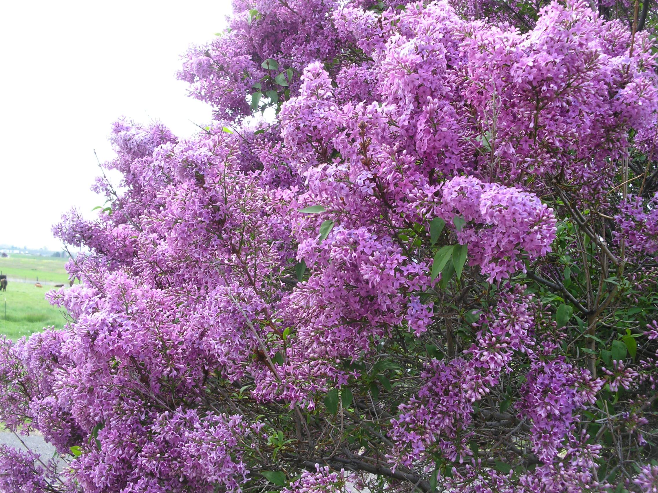Lilacs In Bloom Wallpaper Wallpapersafari