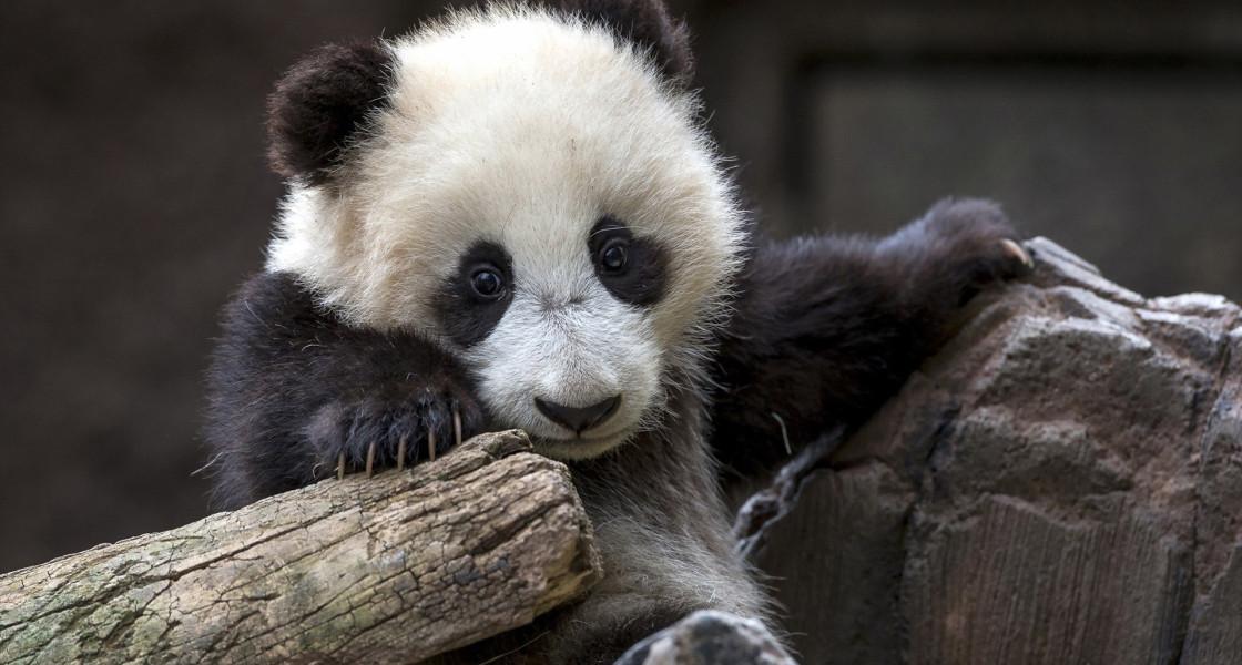 baby panda wallpaper 1120x600