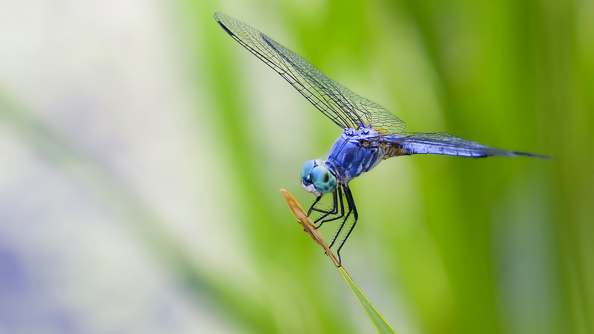 Dragonfly Desktop and make this wallpaper for your desktop tablet 1920x1080