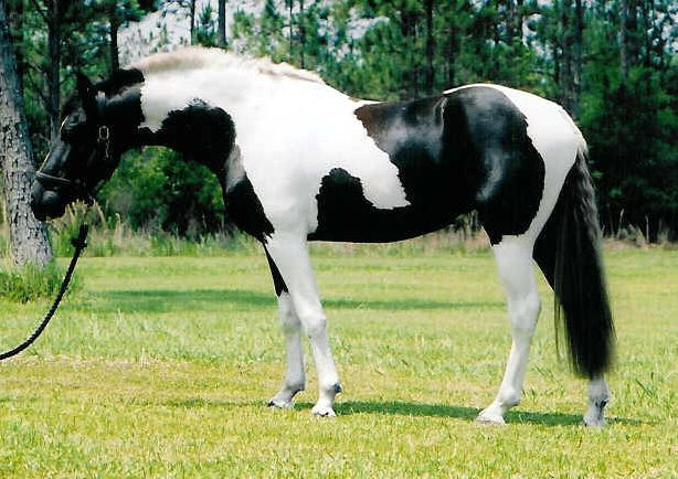 black and white pinto horse pictures brown and white pinto horse 614x434