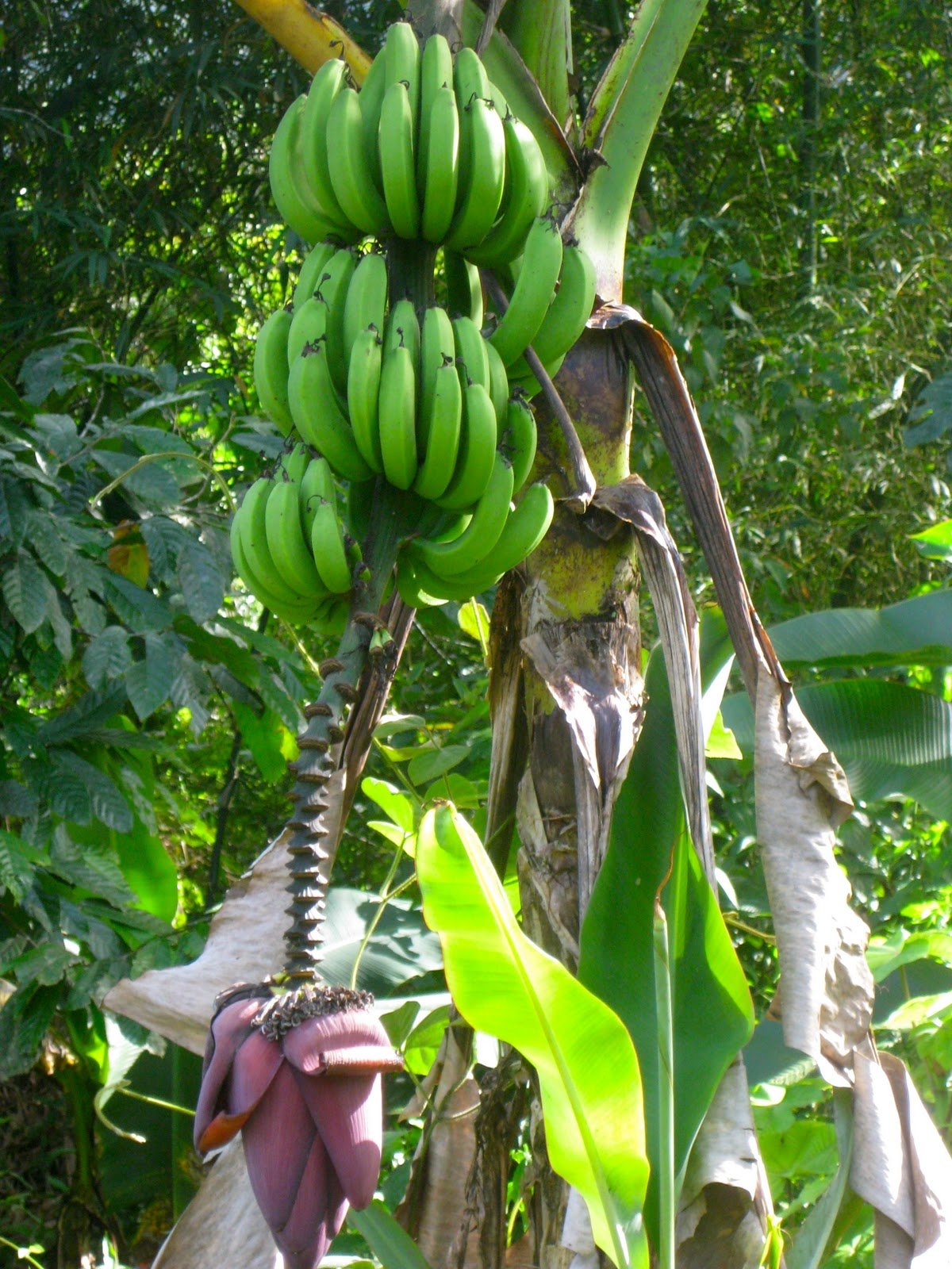 Banana Tree PicturesBanana Cake Banana Cake 1200x1600