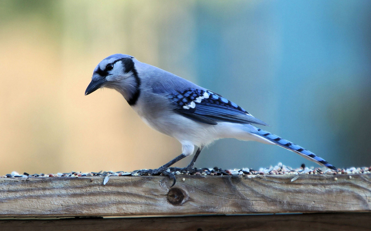 Download Blue Jay wallpaper 1280x800