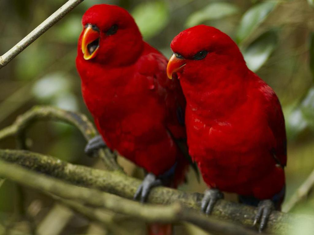 13 bird wallpapers red birds love for ever backgroundjpg 1024x768