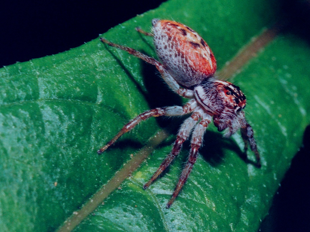 Jumping Spider Wallpaper 1024x768