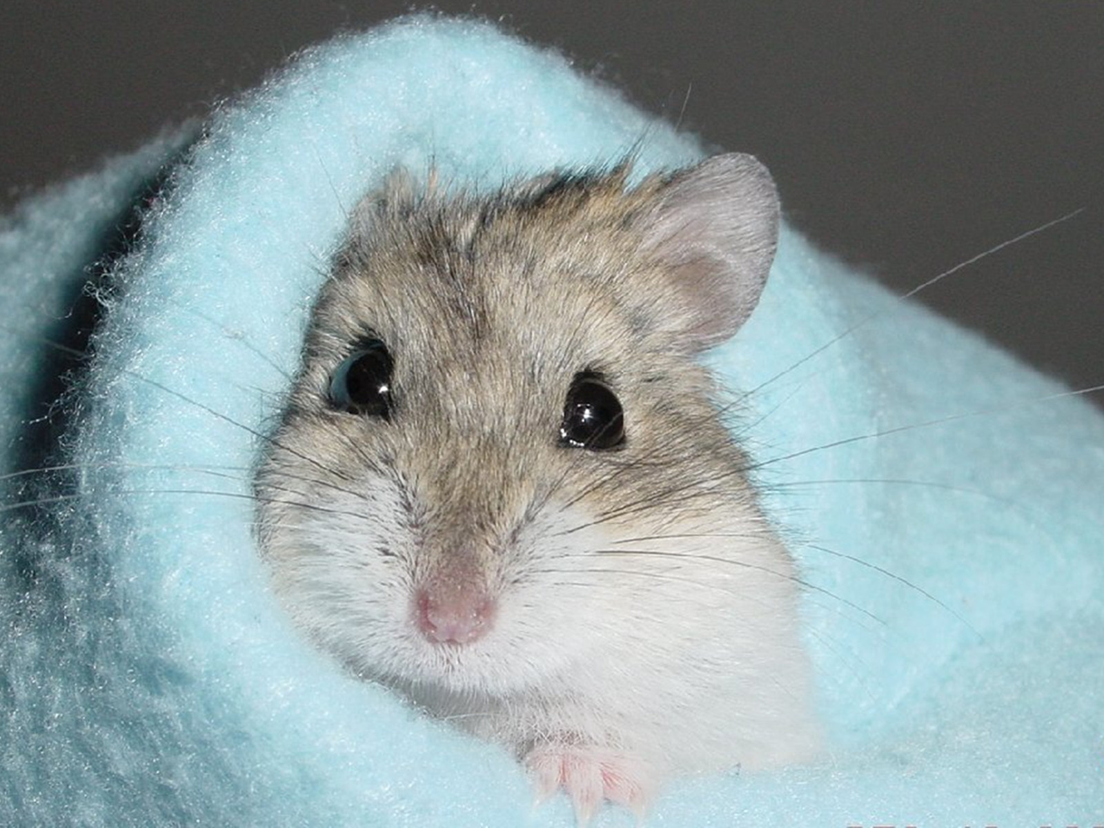 Cute Hamster 1600x1200 Wallpapers 1600x1200 Wallpapers Pictures 1600x1200