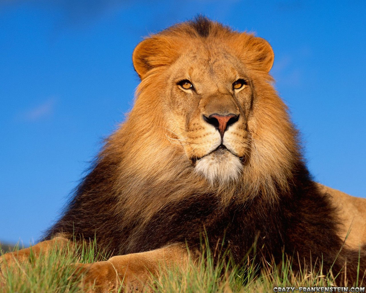 os lion wallpaper lions wallpapers wallpaper and screensavers 1280x1024