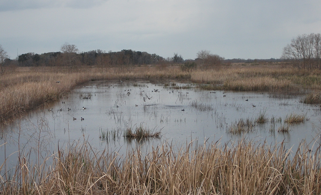 Savannah NWR impoundment with Shovelers and Blue Winged Teal and a 1024x622