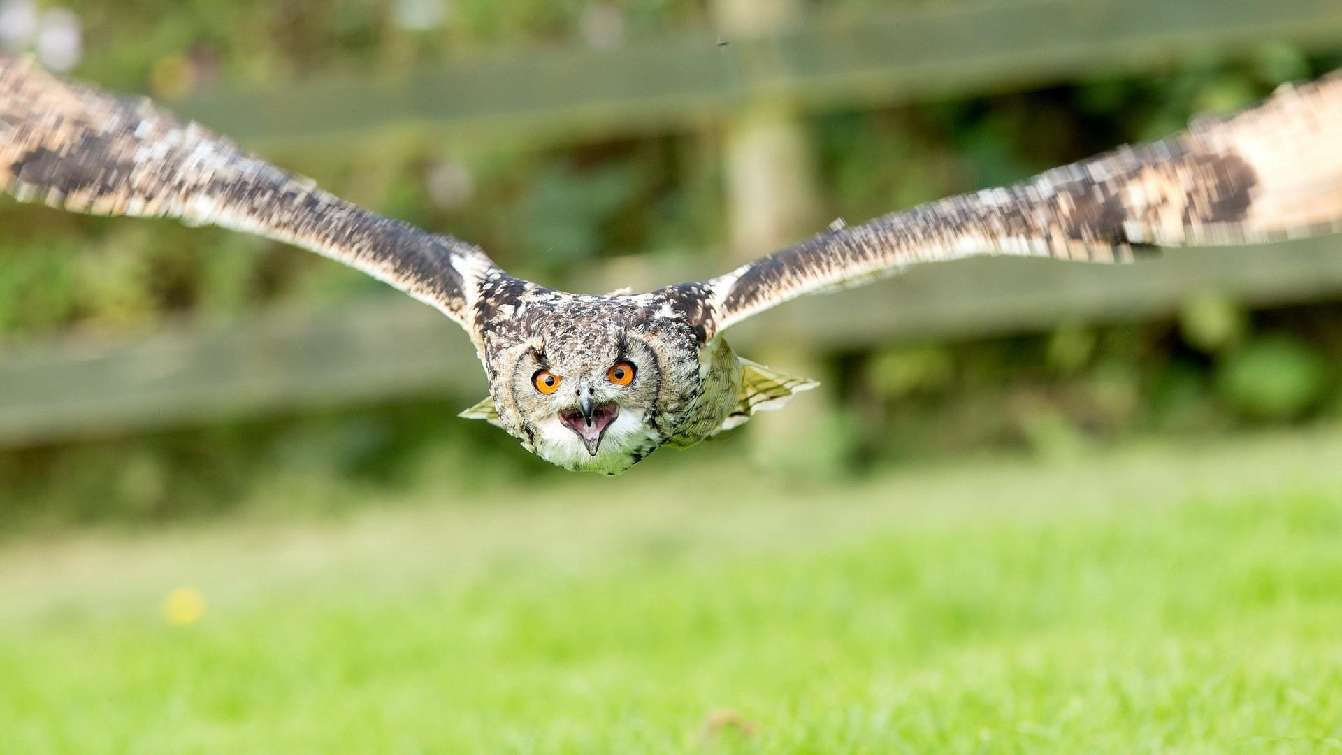 Amazing Beautiful Flying Owl HD Wallpaper Download HD Wallpapers 1920x1080